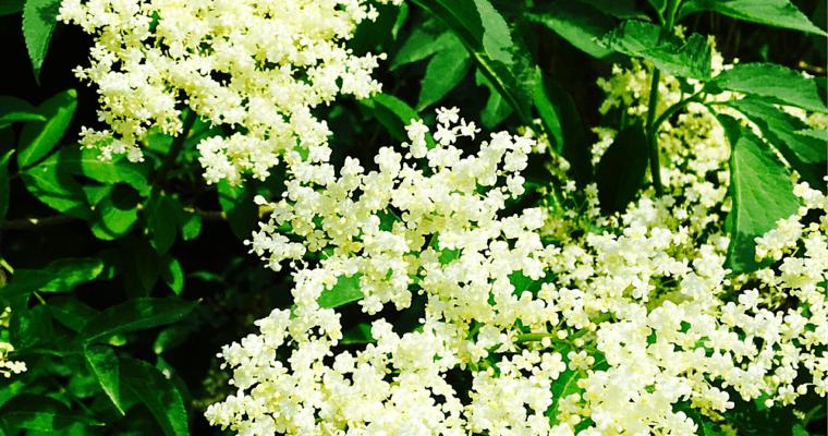 Sirop aux fleurs de sureau
